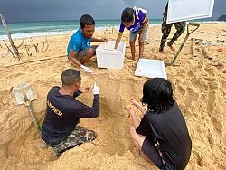 New turtle nest found near Khao Lak