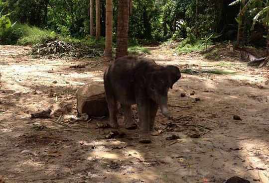 Female ♀ Asian elephant (Elephas maximus) Sukjai (Sutjai) at Thung Thong Sub - District Police Station