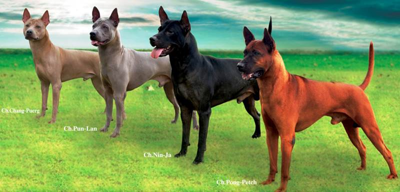 Phu Quoc Ridgeback Dog For Sale