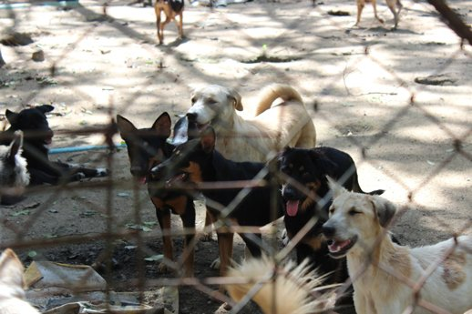The Phuket Government Dog Pound in Thalang.