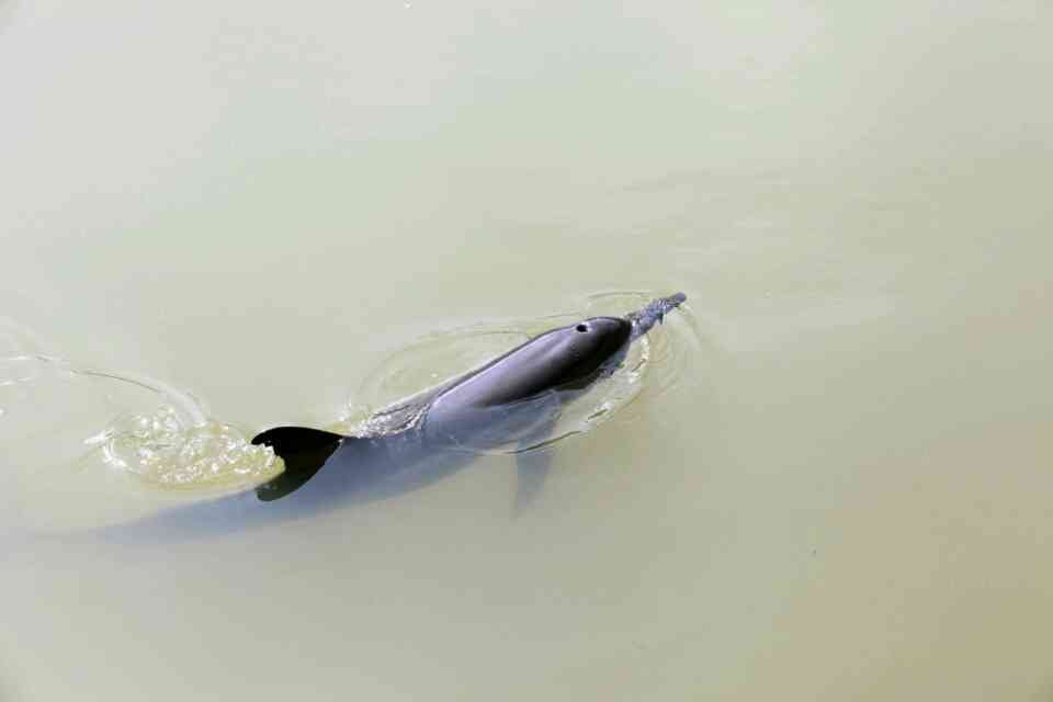 'Lost' Dolphin spotted in Saphan Hin canal