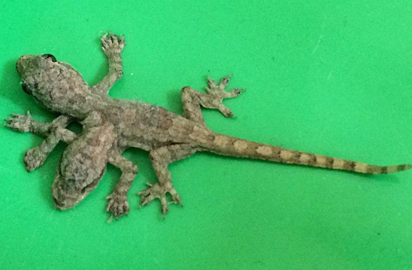 Three Phuket men and a two-headed gecko