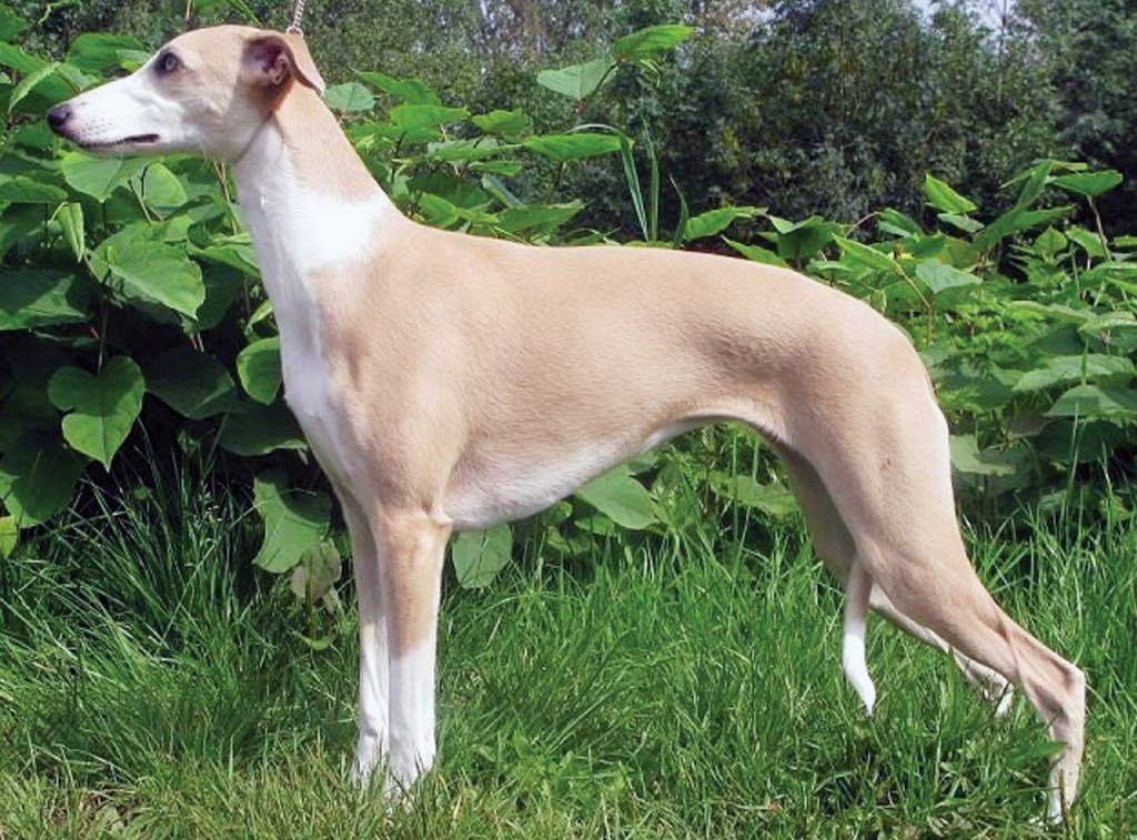 Phuket's Breed of the Month: The Whippet
