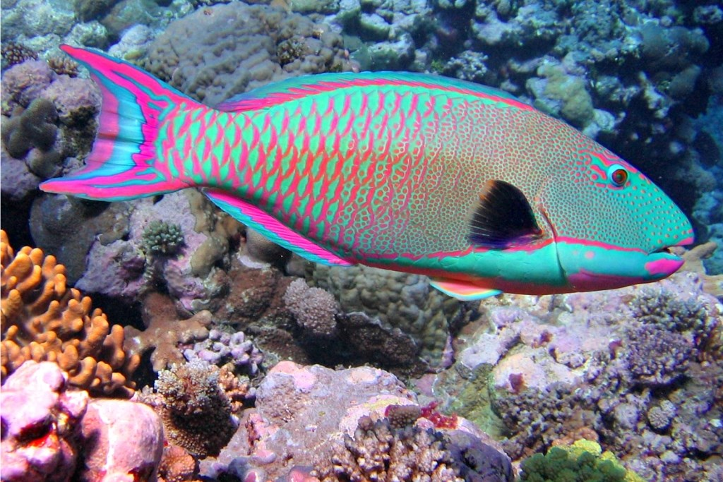 Thai Eye Parrotfish Are Much More Than Pretty Sea Creatures