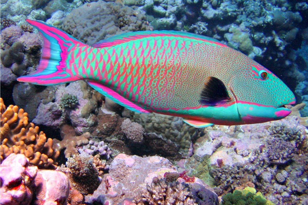 Thai Eye: Parrotfish are much more than pretty sea creatures