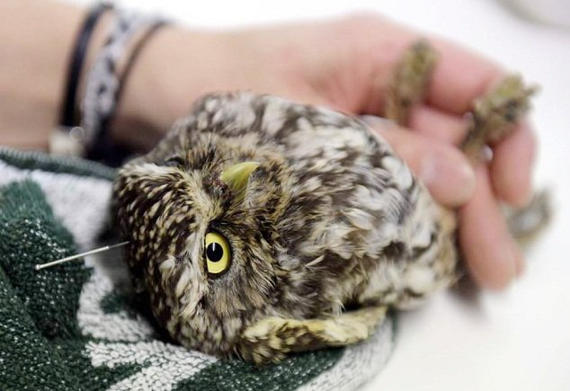 Owl acupuncture is a real thing