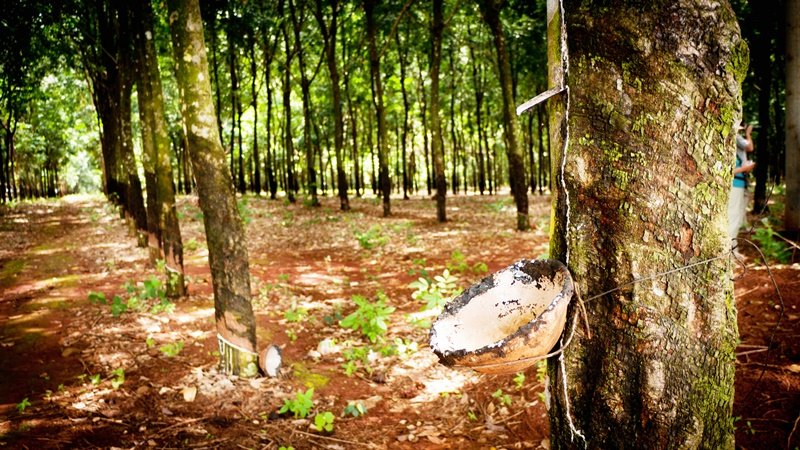 Rubber trees have transformed Phuket's landscape.