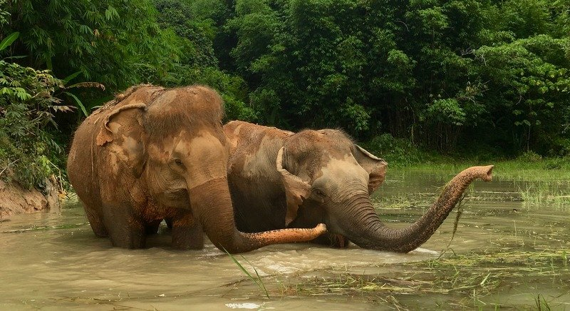 Kannika, 32, and Madee, 60, have been retired from working in Phuket's tourism industry and have become the first elephants to arrive at the new Phuket Elephant Sanctuary. Photo: Phuket Elephant Sanctuary