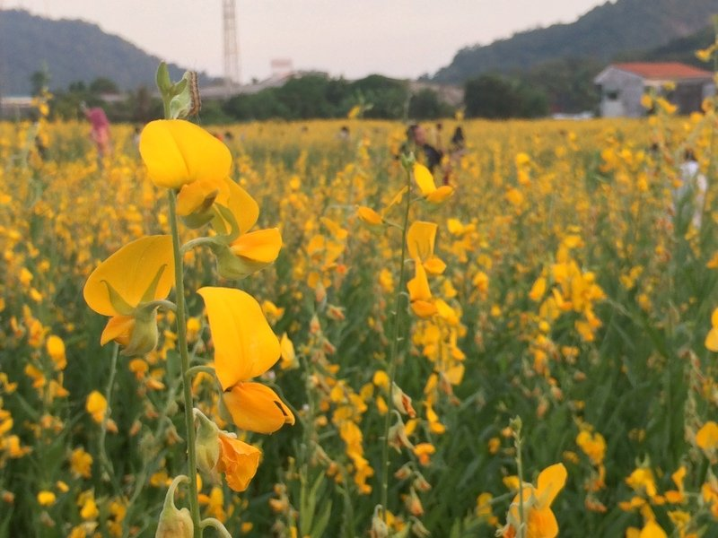Hundreds of have stopped by to enjoy the field of yellow in full bloom. Photo: Eakkapop Thongtub