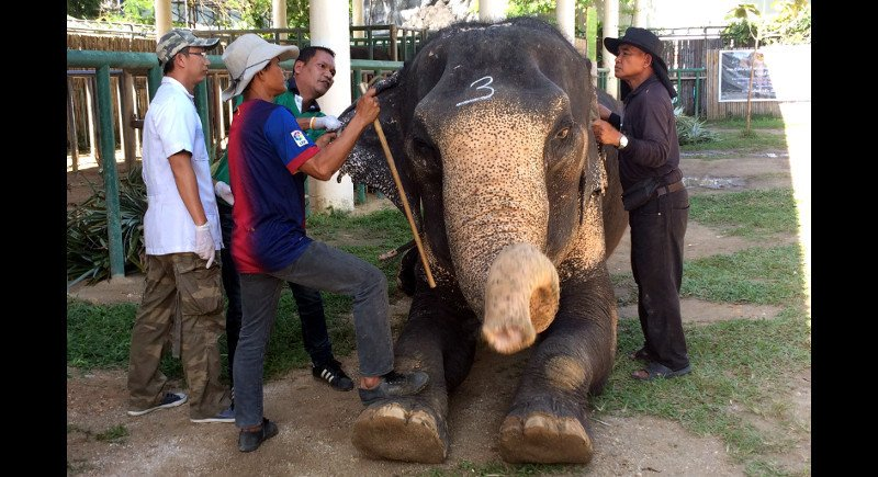 Any elephants not correctly registered by next Thursday (Jan 26) will be seized and the owner will face legal action. Photo; Eakkapop Thongtub