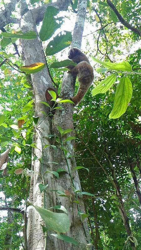 Free again, the slow loris climbs a tree to return to the wild. Photo: Eakkapop Thongtub
