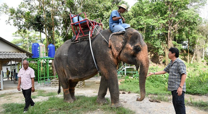 The battle for the female elephant called 'Srinuan', 'Nampetch' or 'Yo' – depending on who you believe – continues. Photo: Eakkapop Thongtub