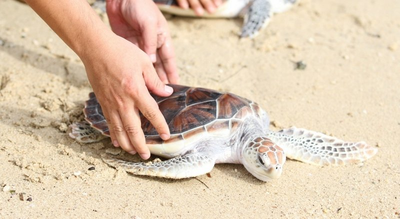 To date, 2,065 sea turtles have been released by Laguna Phuket and B7 million raised since 1994.