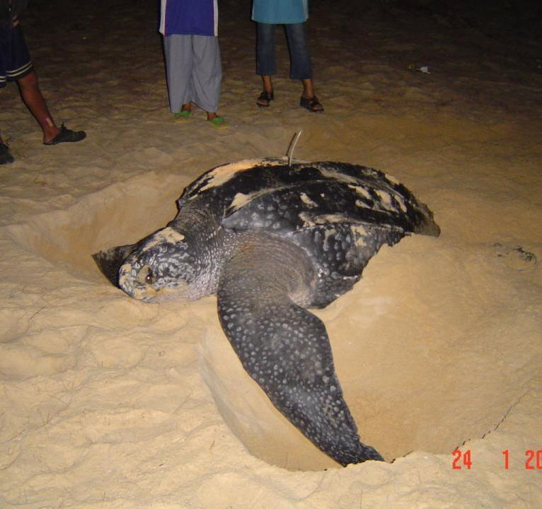 The last giant turtle found nesting near Phuket was a Leatherback found at Thai Muang Beach in Phang Nga province in 2005. Photo: PMBC