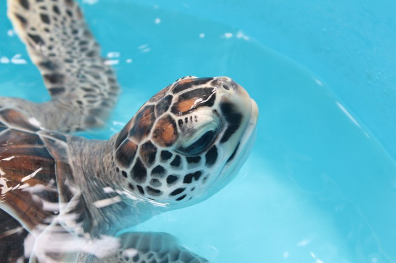 As far as the experts can tell,  most baby turtles released never come back to Phuket beaches. Photo: Tanyaluk Sakoot