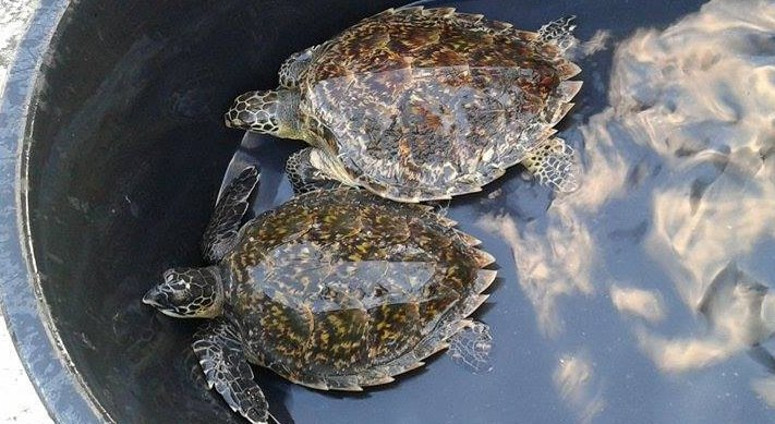The turtles were rescued after they were caught up in a discarded fishing net south of Phuket. Photo: Khanchit KlingKlip