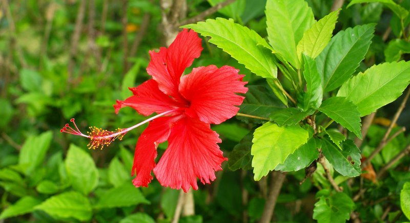 The popular Hibiscus 'Rosa sinensis'. Photo: B Navez