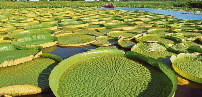People take a boat to see giant water lilies (Victoria amazonica) at Paraguay River in Piquete Cue, north of Asuncion. Photo: AFP