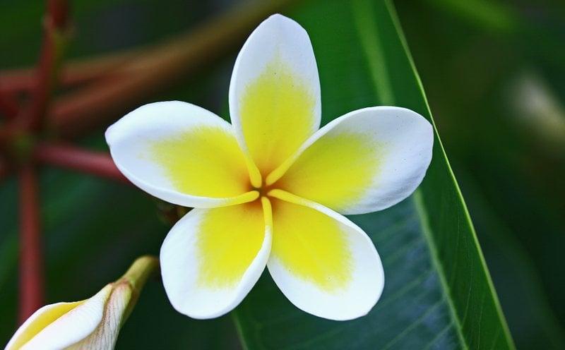 Yellow Frangipani. Photo: Swaminathan