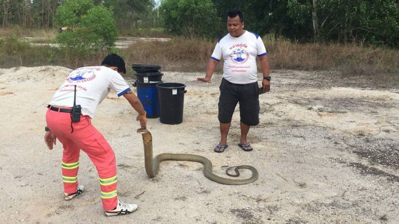Rescue workers enjoyed their farewell with the King Cobra before setting the snakes free in the hills of Chalong yesterday (April 5). Photo: Eakkapop Thongtub
