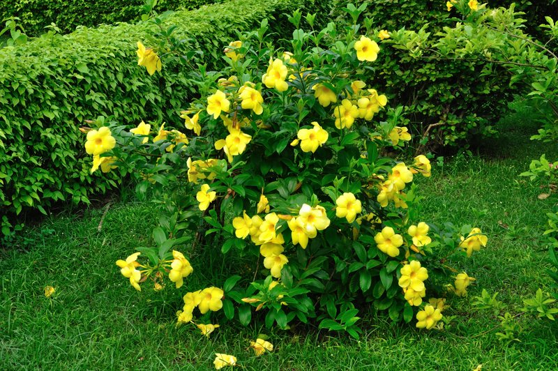 'Allamanda Cathartica' is also known as yellow bell, golden trumpet or buttercup flower. Photo: Biswarup Ganguly