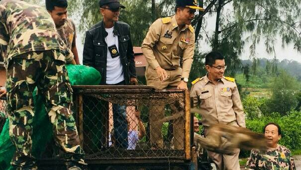 First of the neutered monkeys released into the Phuket wild