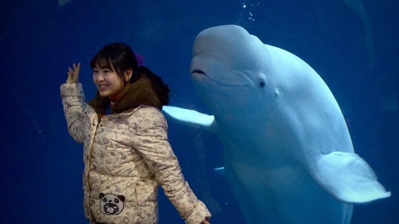 Captive whales find new home as aquarium shows decline