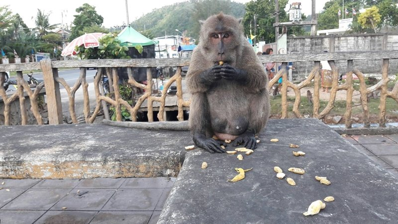 A monkey sits at the monkey viewpoint at Koh Siray. Photo: Natural and Wildlife Education Centre