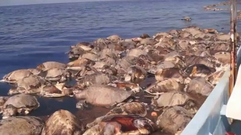 Endangered olive ridley sea turtles found dead off Mexico