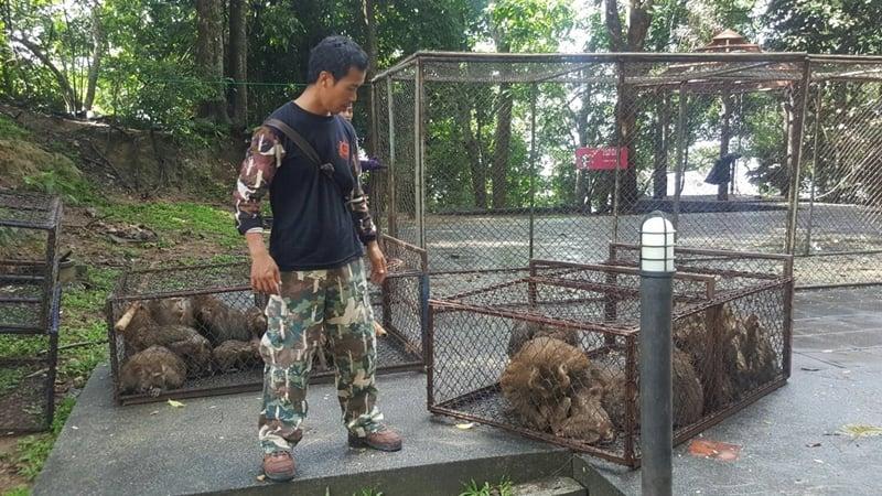 129 Phuket monkeys caught for mass sterilisation Round 2