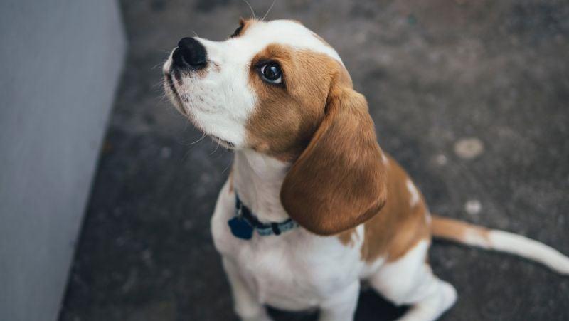 A beagle can make a lively companion. Photo: Marcus Wallis.