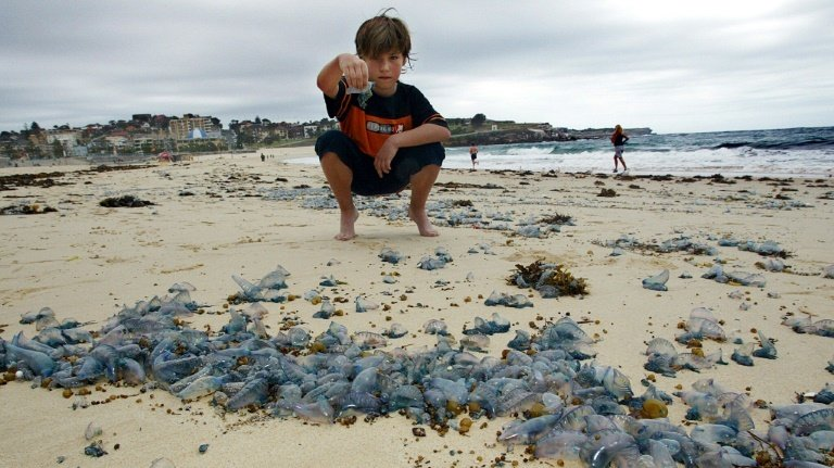 Thousands stung in Australian blue bottle invasion