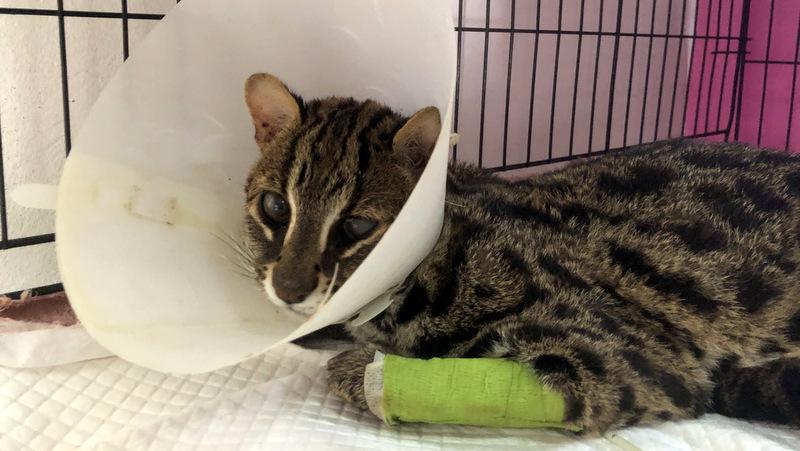 Leopard cat 'Happy Tiger' succumbs to injuries
