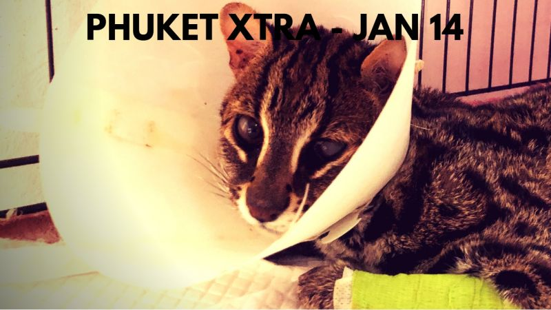 PHUKET XTRA: VIDEO: Leopard cat succumbs! Despite confession, still no charges? Was Brit CEO murdered? || Jan. 14