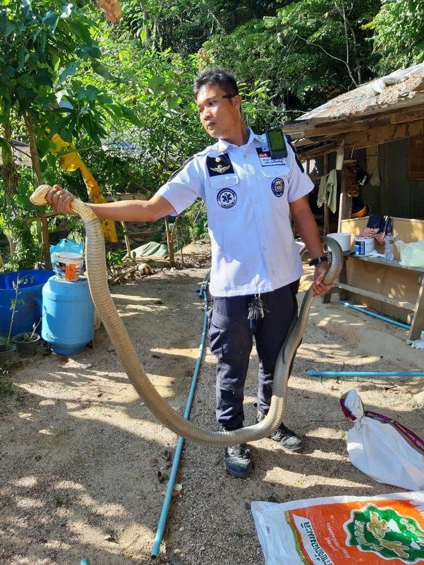 Another king cobra was found measuring almost three metres. Photo: Panthakorn Pongpao