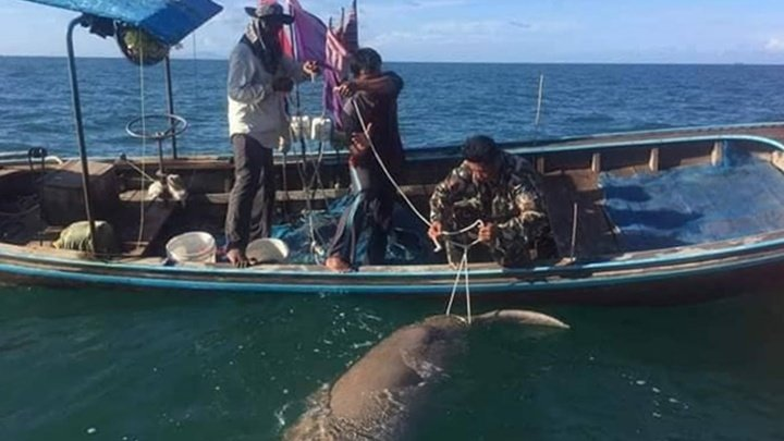 Marine officials say that fishing equipment killed 10 of the 15 dead dugongs found so far this year. Photo: PR Dept