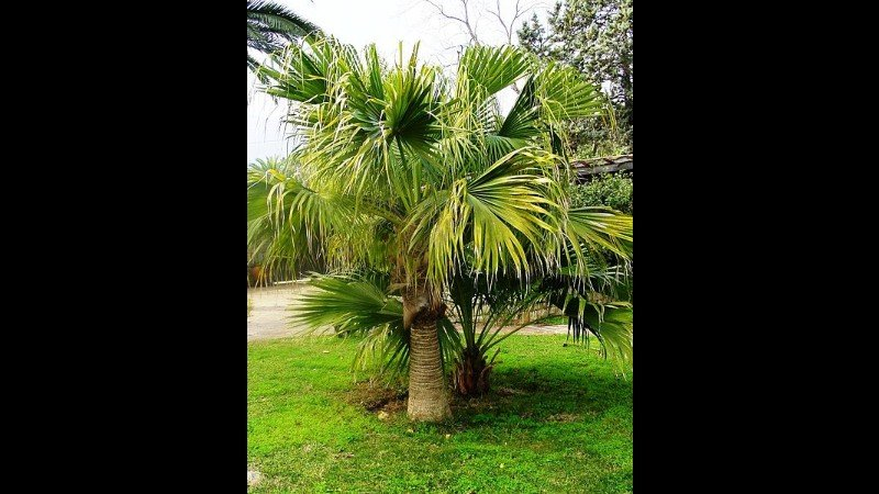 The fountain palm is one of the easiest of all palms to grow. Photo: Esculapio