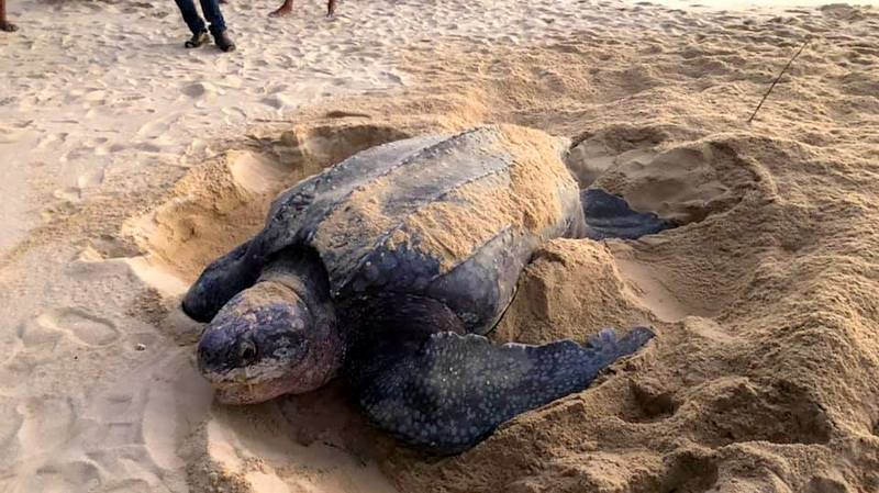 The turtle laid 104 eggs, of which 85 were were believed to be fertile and taken into care for hatching. Photo: Phuket Marine National Park Operation Center 2