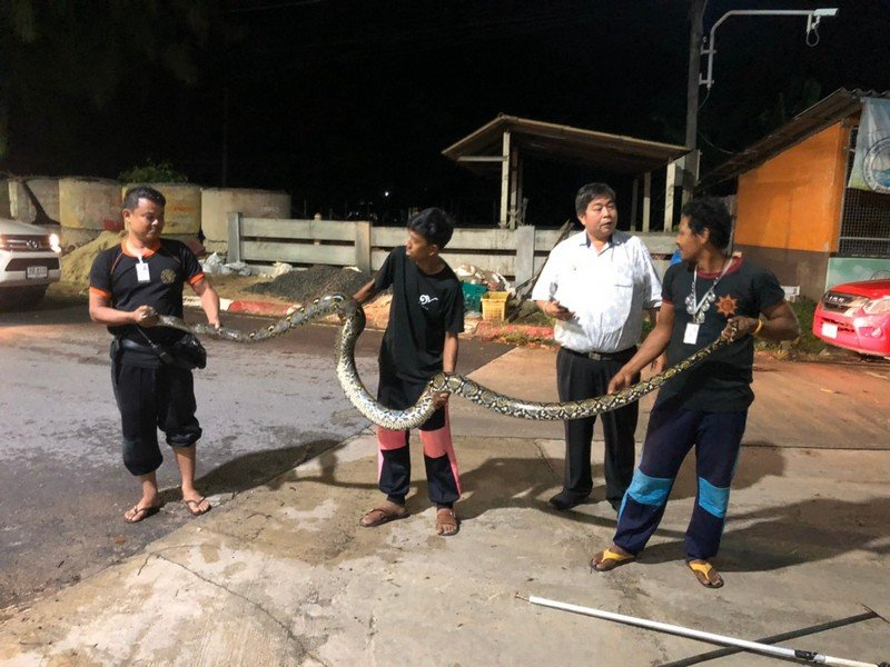 The officers took just minutes to capture the five-metre python, but local residents are worried about their missing cats. Photo: Wichit Municipality