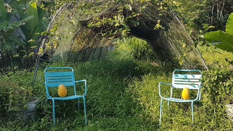 Organic papayas in the PFC garden.