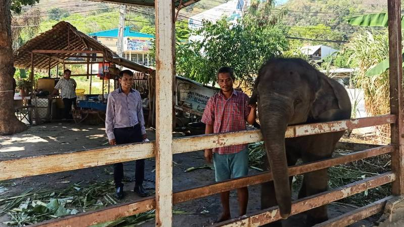 Phuket jungle camp cleared of baby elephant abuse allegations