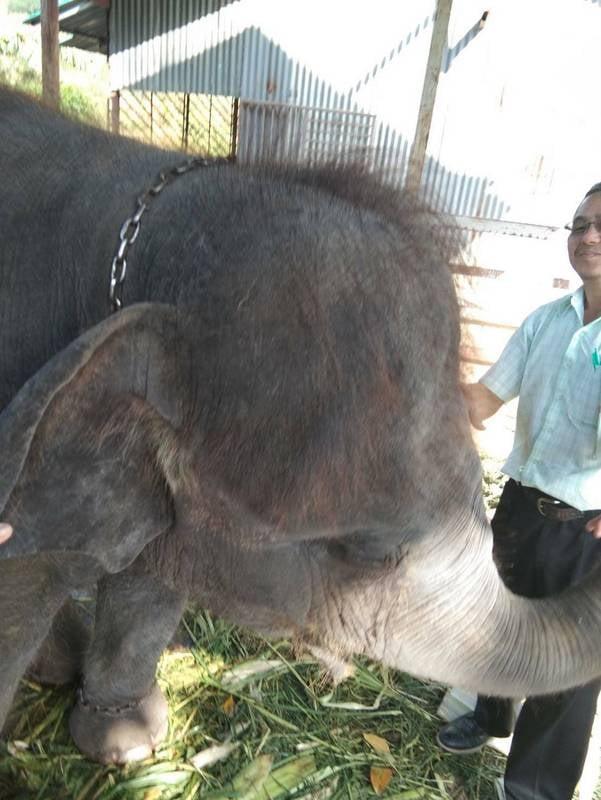 Phuket Livestock Development officers inspected the elephant camp at Rawai last week. Photo: Phuket DLD