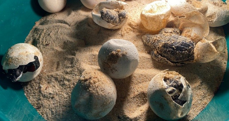 The baby turtles hatching from their eggs. Photo: DMCR
