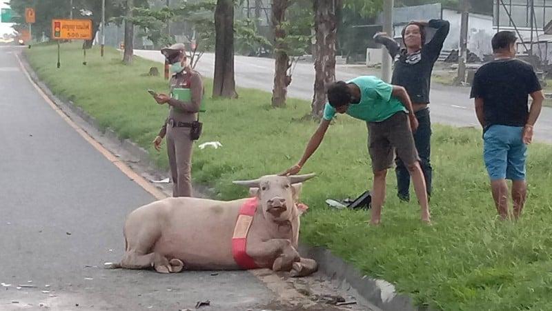 The young albino buffalo suffered three broken legs. Photo: Eakkapop Thongtub