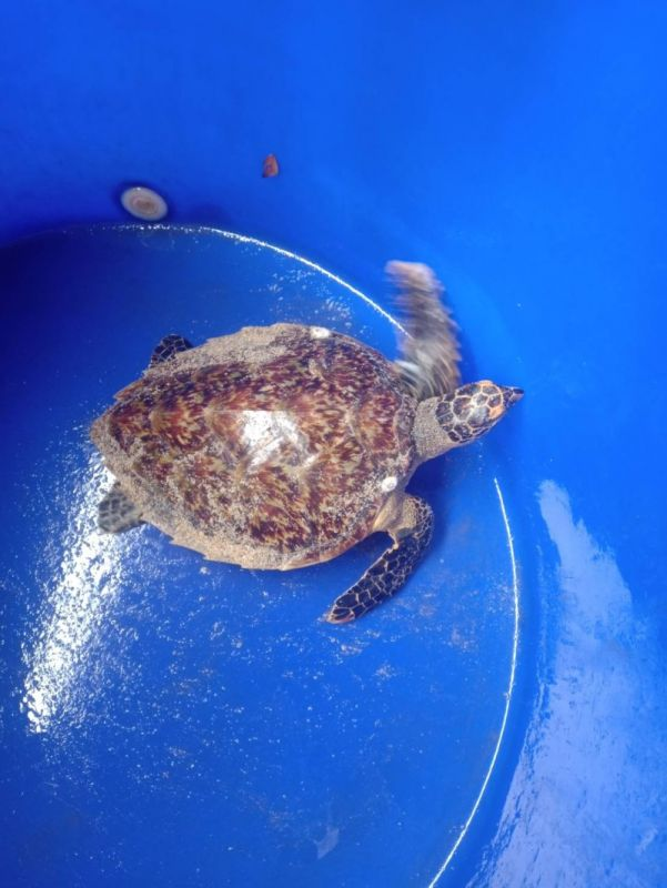 The turtle was cut free from the fishing net at Yanui beach this morning (May 29). Photo: via Aroon Solos