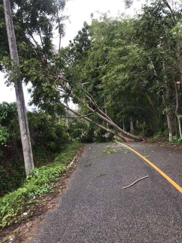 A large tree near Mae Luan Rd in Phuket Town was felled by the strong winds. Photo: Tanyaluk Sakoot