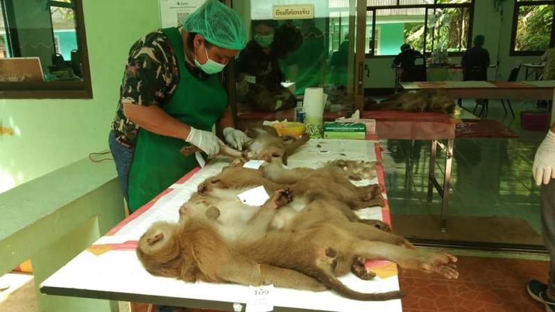 The Phuket wild monkey mass sterilisation campaign is underway again. Photo: PR Phuket