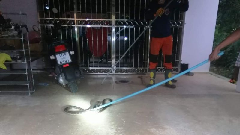 Rescue workers at Rawai Municipality warned of snakes on the move after catching a king cobra at a local resident's home yesterday (Oct 2). Photo: Rawai Municipality