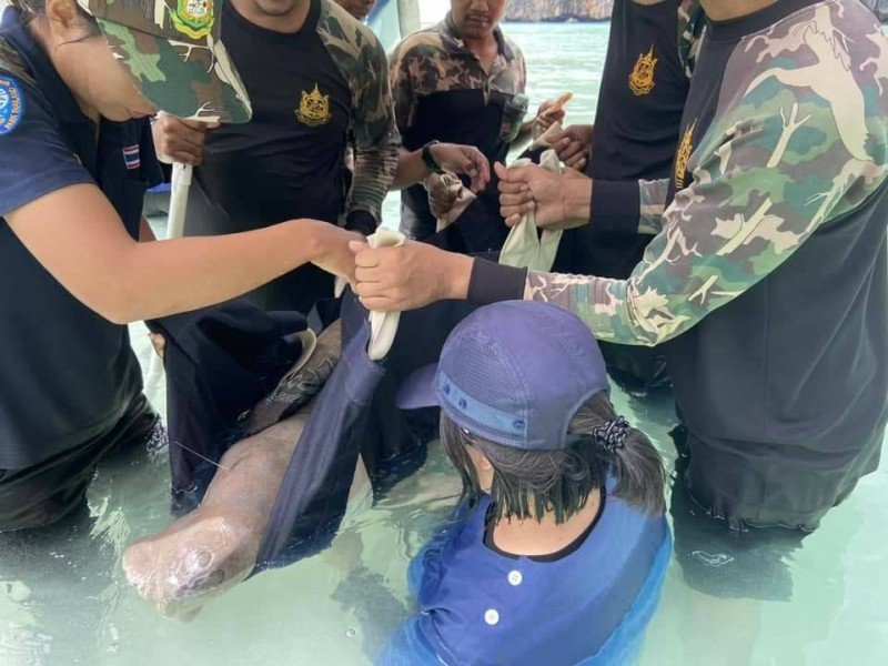 The wounded dugong was taken into care at Maya Bay yesterday (Oct 27). Photo: DMCR