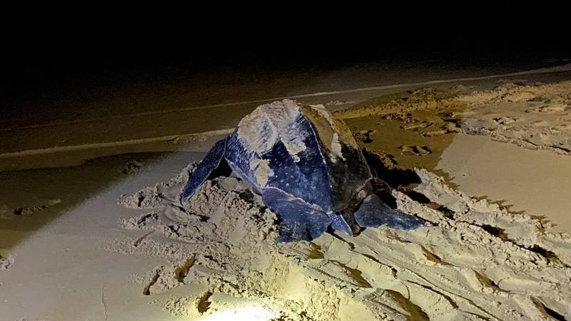 The large leatherback turtle that laid a nest on Thai Muang Beach in Phang Nga last night (Feb 7) is believed to now have laid five nests in the area since laying its first nest on Kata Beach on Jan 1. Photo: DMCR